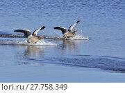 Купить «goose landing waterfowls waterfowl squirt», фото № 27758349, снято 21 января 2019 г. (c) PantherMedia / Фотобанк Лори