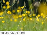 Купить «Yellow buttercup meadow», фото № 27761601, снято 19 марта 2019 г. (c) PantherMedia / Фотобанк Лори