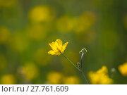 Купить «Yellow buttercup meadow», фото № 27761609, снято 20 марта 2019 г. (c) PantherMedia / Фотобанк Лори