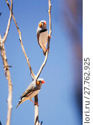 Купить «Finches. Uluru Kata Tjuta National Park (Ayers Rock)», фото № 27762925, снято 25 мая 2019 г. (c) age Fotostock / Фотобанк Лори