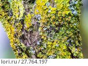 Купить «Yellow lichens on tree», фото № 27764197, снято 19 октября 2018 г. (c) PantherMedia / Фотобанк Лори