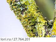 Купить «Yellow lichens on tree», фото № 27764201, снято 19 октября 2018 г. (c) PantherMedia / Фотобанк Лори