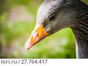 Купить «Detail of goose», фото № 27764417, снято 21 сентября 2018 г. (c) PantherMedia / Фотобанк Лори