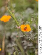 Купить «Honeybee, Hylaeus, gathers pollen », фото № 27769581, снято 5 июля 2020 г. (c) PantherMedia / Фотобанк Лори
