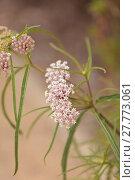 Купить «Light pink flower clusters of the narrow leafed milkweed», фото № 27773061, снято 23 марта 2019 г. (c) PantherMedia / Фотобанк Лори
