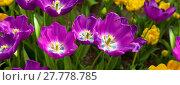 Купить «Violet tulips background.», фото № 27778785, снято 25 июня 2018 г. (c) PantherMedia / Фотобанк Лори