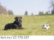 Купить «older black labrador is with his favorite toy on a meadow», фото № 27779337, снято 17 августа 2018 г. (c) PantherMedia / Фотобанк Лори