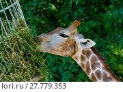 Купить «carnivorous giraffe in closeup», фото № 27779353, снято 21 марта 2018 г. (c) PantherMedia / Фотобанк Лори