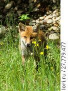 Купить «young fox with prey», фото № 27779477, снято 22 марта 2019 г. (c) PantherMedia / Фотобанк Лори