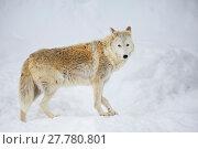 Купить «Тундровый волк», фото № 27780801, снято 21 января 2016 г. (c) Галина Савина / Фотобанк Лори