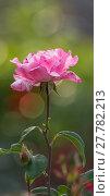 Купить «wilting pink rose / rose», фото № 27782213, снято 25 мая 2019 г. (c) PantherMedia / Фотобанк Лори