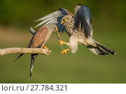 Купить «Female kestrel (Falco tunniculus) taking lizard prey gift  from male,   Mayenne, France», фото № 27784321, снято 18 июля 2018 г. (c) Nature Picture Library / Фотобанк Лори