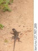 Купить «Brown common fence lizard, Sceloporus occidentalis, perches on the edge of a burrow », фото № 27787289, снято 25 марта 2019 г. (c) PantherMedia / Фотобанк Лори