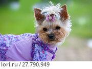 Купить «Собака породы йоркширский терьер в комбинезоне», фото № 27790949, снято 5 июня 2016 г. (c) Татьяна Белова / Фотобанк Лори