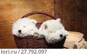 Купить «Seven months old Samoyed puppies dog sleeping in the basket outdoors», видеоролик № 27792097, снято 4 мая 2016 г. (c) Алексей Кузнецов / Фотобанк Лори