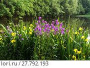 Купить «Sommer blühende Pflanzen am Wasser Selketal-Stieg Harz», фото № 27792193, снято 22 июля 2019 г. (c) PantherMedia / Фотобанк Лори