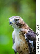 Купить «Red Tailed Hawk Close Up», фото № 27794005, снято 16 сентября 2019 г. (c) PantherMedia / Фотобанк Лори