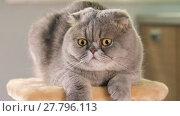 Купить «Thoroughbred Scottish Fold cat resting on the stand and  looks into amazement around, closeup», видеоролик № 27796113, снято 17 июня 2017 г. (c) Алексей Кузнецов / Фотобанк Лори