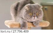 Купить «Thoroughbred gray Scottish Fold cat resting on the stand and  looks around, closeup», видеоролик № 27796409, снято 17 июня 2017 г. (c) Алексей Кузнецов / Фотобанк Лори