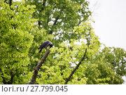 Купить «rook raven sitting on tree», фото № 27799045, снято 18 ноября 2018 г. (c) PantherMedia / Фотобанк Лори