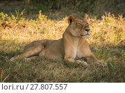 Купить «Lioness lies staring on grass in shade», фото № 27807557, снято 19 февраля 2019 г. (c) PantherMedia / Фотобанк Лори