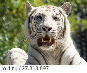 Купить «animal cat predator tiger weiss», фото № 27813897, снято 20 апреля 2019 г. (c) PantherMedia / Фотобанк Лори