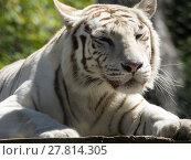 Купить «animal cat predator tiger weiss», фото № 27814305, снято 20 апреля 2019 г. (c) PantherMedia / Фотобанк Лори
