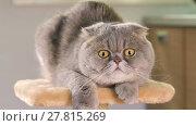 Купить «Scottish Fold cat is lying on the stand and goggles around», видеоролик № 27815269, снято 20 мая 2017 г. (c) Алексей Кузнецов / Фотобанк Лори