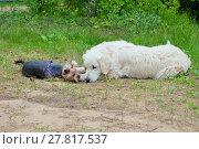 Купить «Две собаки - золотистый ретивер и йоркширский терьер отдыхают на траве», фото № 27817537, снято 5 июня 2016 г. (c) Татьяна Белова / Фотобанк Лори