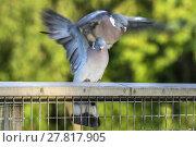 Купить «Two Wood Pigeons Mating», фото № 27817905, снято 16 июля 2019 г. (c) PantherMedia / Фотобанк Лори