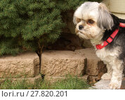 Купить «Morkie Dog Outside», фото № 27820201, снято 27 марта 2019 г. (c) PantherMedia / Фотобанк Лори