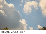 Купить «Bird with wings down as it flies in sky», фото № 27821857, снято 17 июня 2019 г. (c) PantherMedia / Фотобанк Лори