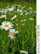 Купить «daisies splendor», фото № 27828945, снято 18 января 2019 г. (c) PantherMedia / Фотобанк Лори