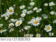 Купить «daisies splendor», фото № 27828953, снято 18 января 2019 г. (c) PantherMedia / Фотобанк Лори