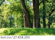 Купить «Oak trees in summer green grassy park», фото № 27834293, снято 30 июля 2017 г. (c) Юрий Брыкайло / Фотобанк Лори