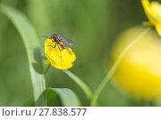 Купить «Fly on Buttercup Flower», фото № 27838577, снято 20 марта 2019 г. (c) PantherMedia / Фотобанк Лори
