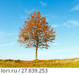 Lonely autumn maple tree. Стоковое фото, фотограф Юрий Брыкайло / Фотобанк Лори