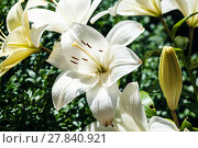Купить «white flower of Lilium close up in green garden», фото № 27840921, снято 26 марта 2019 г. (c) PantherMedia / Фотобанк Лори