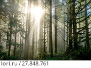 Купить «Sun bursts through tall fir trees in a dense forest in Oregon. Rays of light come down from the heavens in an epic landscape image.», фото № 27848761, снято 5 декабря 2017 г. (c) easy Fotostock / Фотобанк Лори