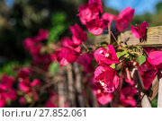 Купить «Closeup of bouganville flowers in a garden», фото № 27852061, снято 23 июля 2019 г. (c) PantherMedia / Фотобанк Лори