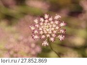 Купить «Purple pink Queen Anne's lace Daucus carota flower», фото № 27852869, снято 27 марта 2019 г. (c) PantherMedia / Фотобанк Лори