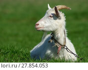 Купить «Horned goat», фото № 27854053, снято 28 января 2020 г. (c) PantherMedia / Фотобанк Лори