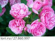 Купить «duchess de rohan rose», фото № 27860997, снято 21 января 2019 г. (c) PantherMedia / Фотобанк Лори