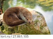Купить «Weasel resting on a stone », фото № 27861105, снято 20 августа 2018 г. (c) PantherMedia / Фотобанк Лори
