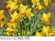 Купить «daffodils», фото № 27863145, снято 21 марта 2019 г. (c) PantherMedia / Фотобанк Лори
