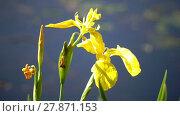 Купить «Iris pseudacorus yellow flag, yellow iris, water flag, lever is a species in the genus Iris, of the family Iridaceae», видеоролик № 27871153, снято 18 декабря 2009 г. (c) Куликов Константин / Фотобанк Лори