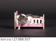 Купить «Two baby rats», фото № 27888937, снято 26 марта 2013 г. (c) Argument / Фотобанк Лори