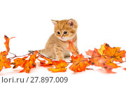 Little British kitten and autumn leaves. Стоковое фото, фотограф Okssi / Фотобанк Лори