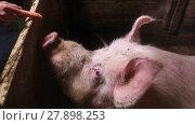Купить «Female hand feeds a large boar with a carrot in the paddock on a rural farm», видеоролик № 27898253, снято 13 февраля 2018 г. (c) Алексей Кузнецов / Фотобанк Лори