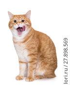 Купить «Beautiful, big ginger cat licking his chops», фото № 27898569, снято 13 ноября 2017 г. (c) Okssi / Фотобанк Лори